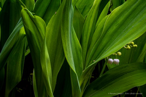 "Convallaria majalis. Sirtori, April 2020.. Nikon D810, 50 mm (50 mm ƒ/1.4) 1/6"" ƒ/16 ISO 320"