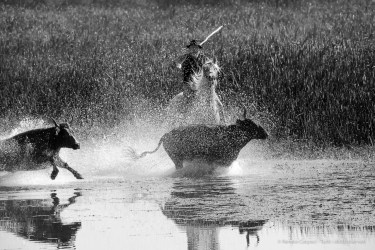 "Mas de la Pineda, Camargue: a ""guardian"" attending a herd of cattle. September 2014. Nikon D810, 400 mm (80-400.0 ƒ/4.5-5.6) 1/1250"" ƒ/ 13 ISO 1000"