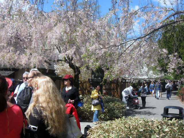 Cherry Blossoms at the Japanese Garden