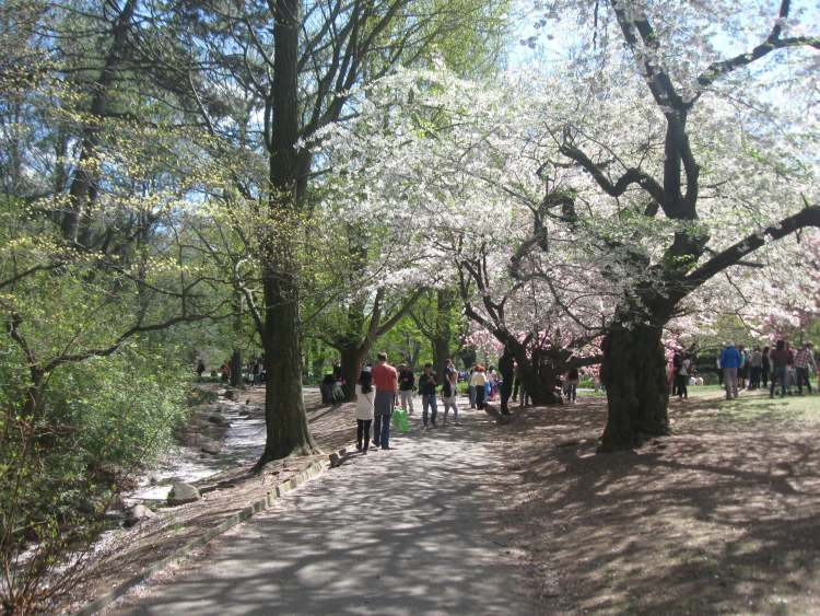 Cherry Walk at the Brooklyn Botanic Garden