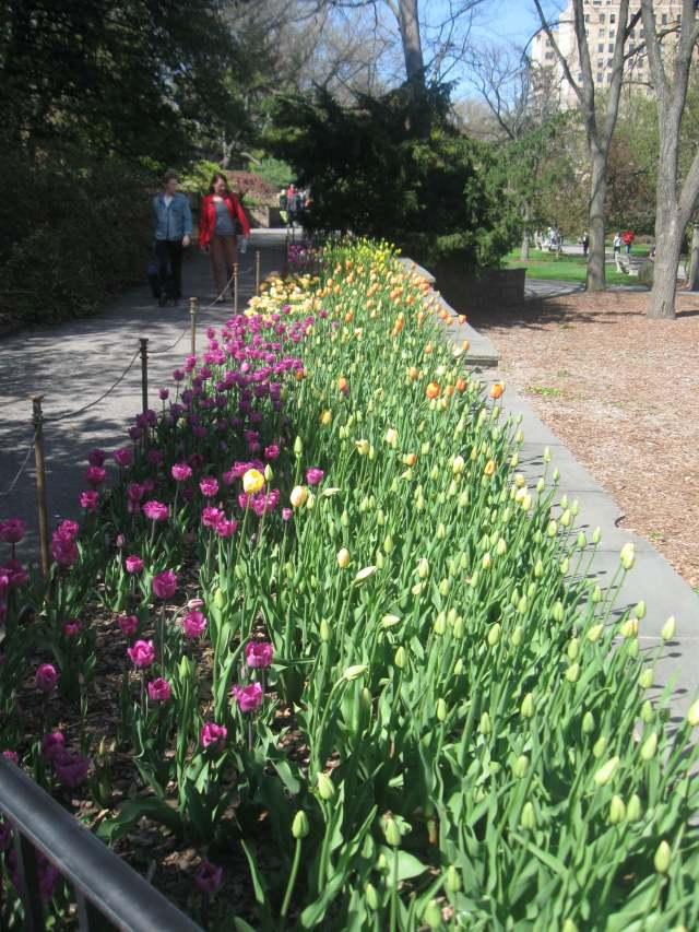 Rainbow tulips in the Osborne Garden