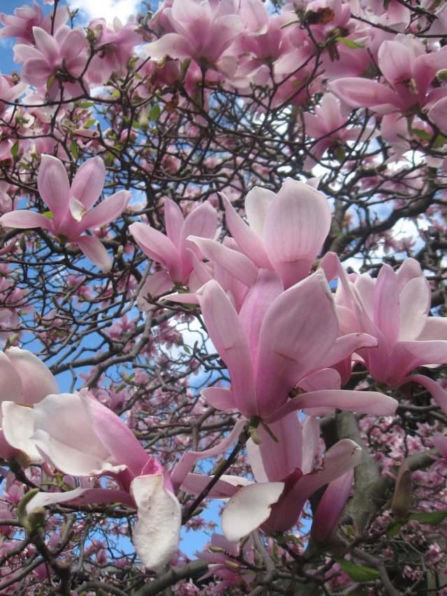 Magnolia Blossoms at the Brroklyn Botanic Garden, NYC