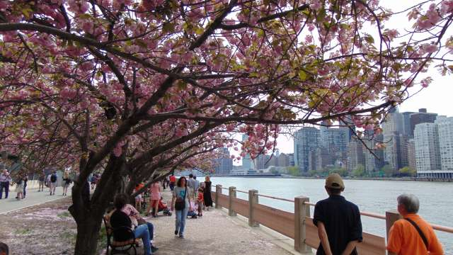having a Hanami moment on Roosevelt Island , NYC