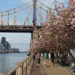 having a Hanami moment on Roosevelt Island , NYC Sakura Matsuri 2017