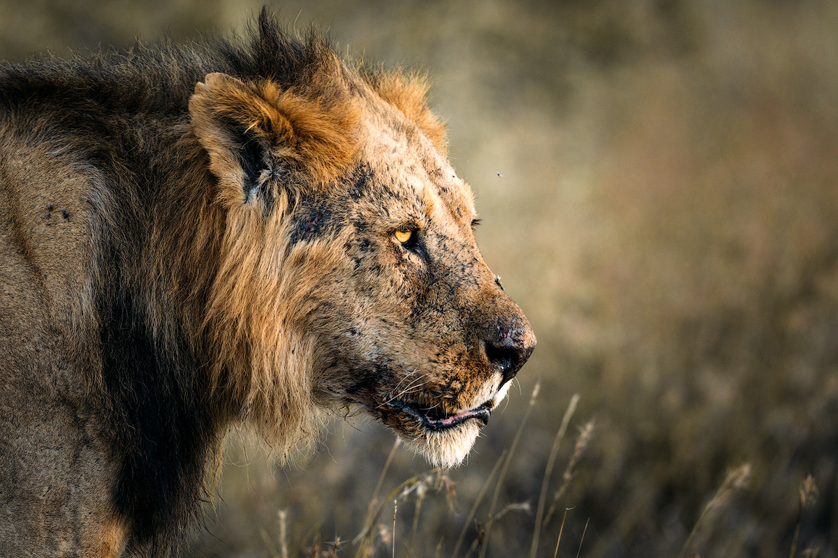 Experiencing an Incredible Luxury Safari at Solio Lodge Kenya Male Lion