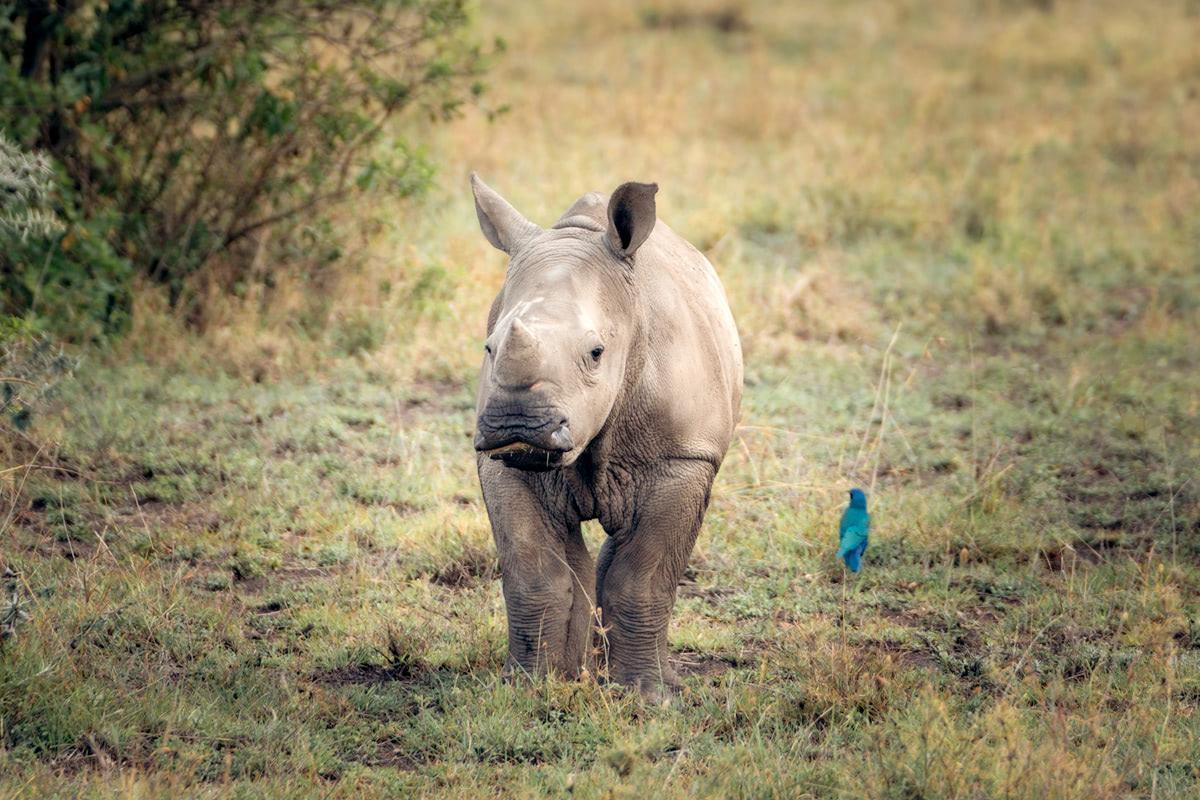 Ultimate Safari Adventure at Ol Pejeta Conservancy Kenya Baby Rhino
