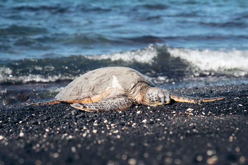 Plan an Incredible Trip to the Big Island of Hawaii - Sea Turtle