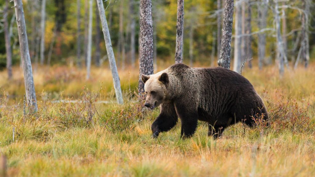 Must Know Bear Safety when Hiking and Camping
