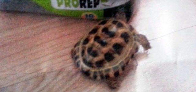 Johnstone: Appeal for missing tortoise