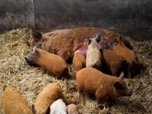 Wollschweinchen mit Mama