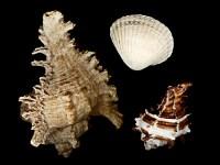 Muscheln und Seeschnecken per Scanografie aufgenommen