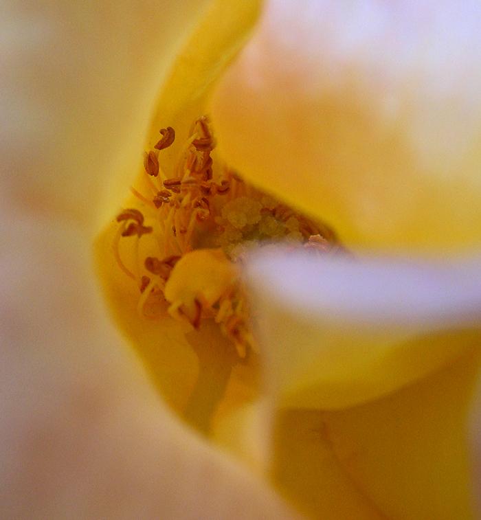 camelia-close-03.jpg