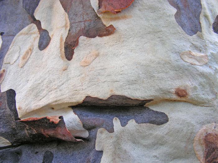 harlequin-eucalyptus-01.jpg