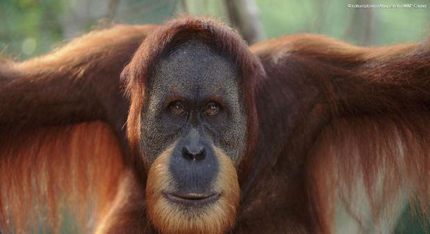 sumatrijski-orangutan