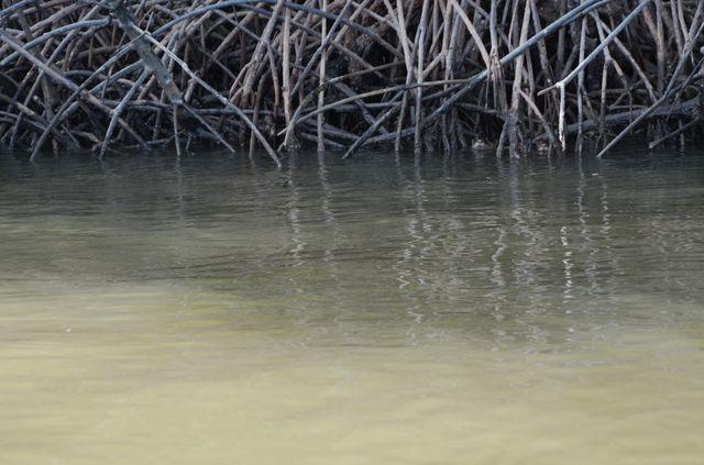 Langkawi - Mangrove - Loutres de mer