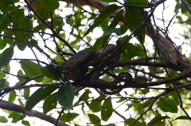 Langkawi - Mangrove - Cobra