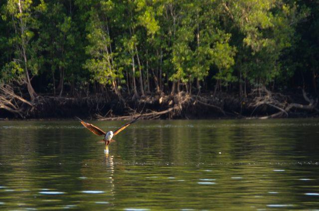Langkawi - Mangrove - Aigle