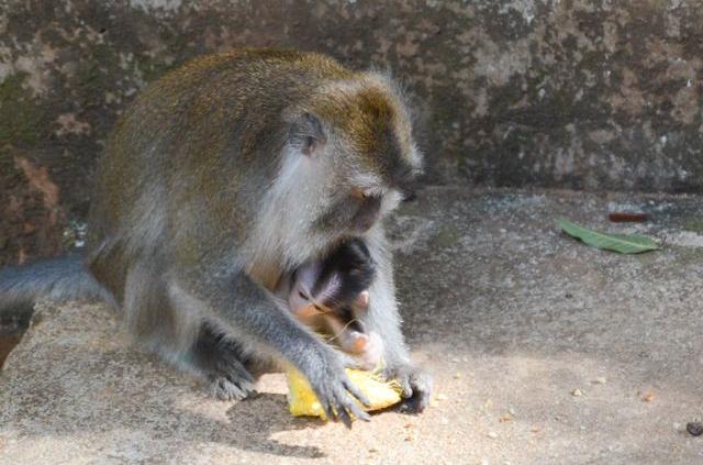 Langkawi - Pulau Dayang Bunting - Macaque