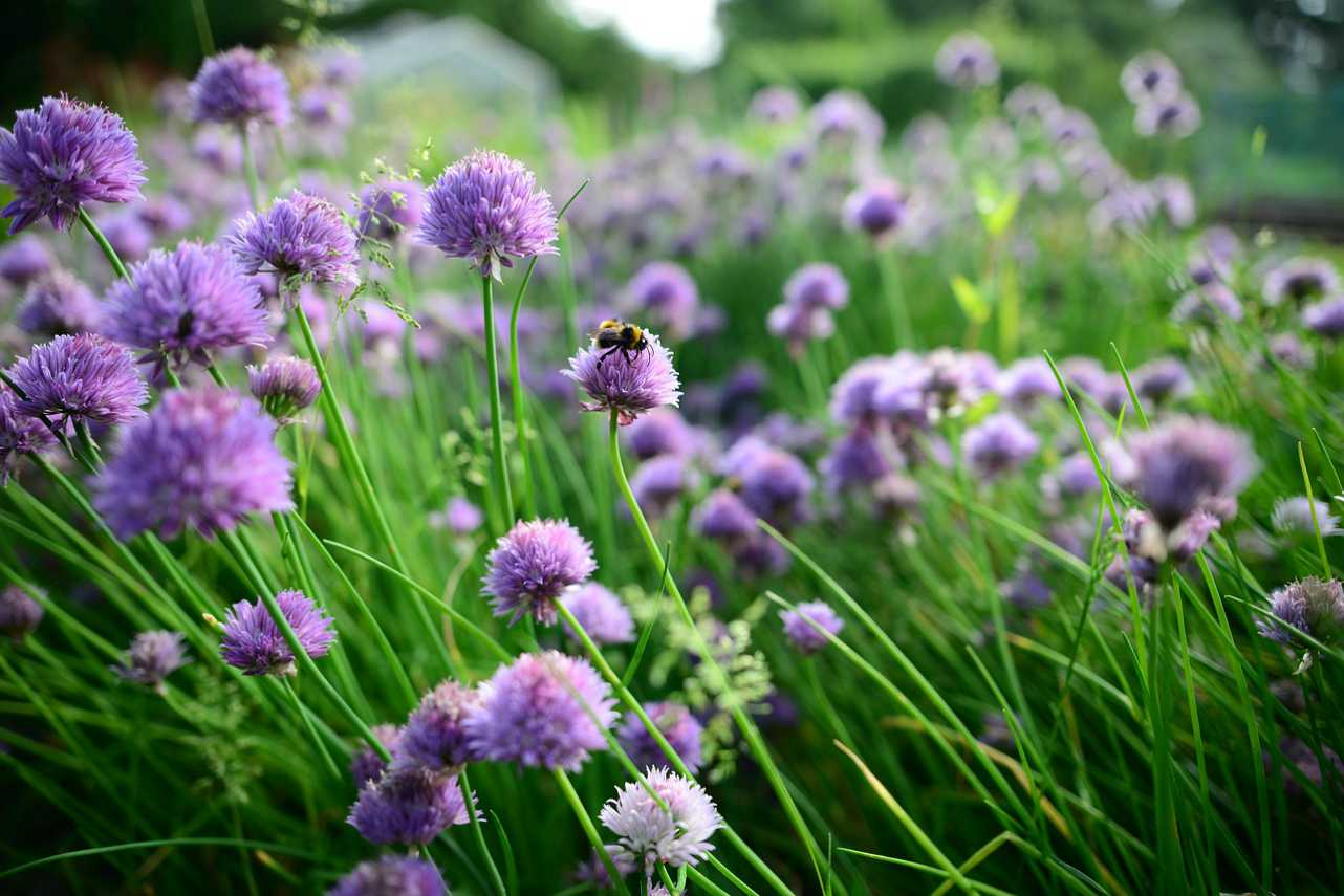 An image of chives growing outdoors