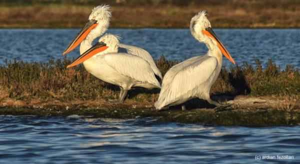 Pelikanët. Foto korzezi: Ardian Fezollari