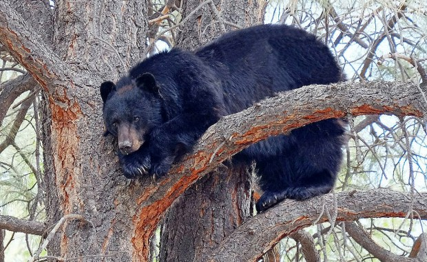 NO DATELINE, CO - April 4, 2019: Every year, Colorado Parks and Wildlife officials remind residents to take common-sense steps, such as locking away garbage and pet food, to keep bears from visiting populated areas. (Special to the Loveland Reporter-Herald / Colorado Parks and Wildlife)