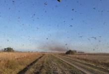 Photo of Governo traça diretrizes para eventual combate a gafanhotos no país