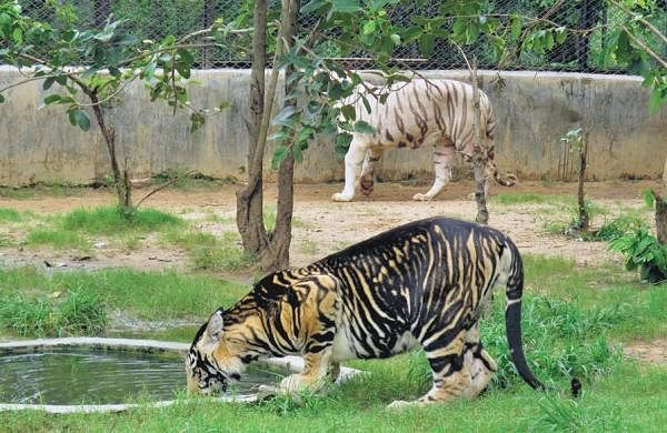 Gene behind Similipal Tiger Reserve's melanistic tigers decoded