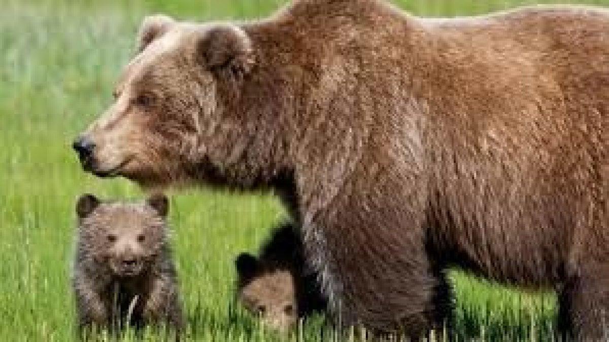 Abruzzo, l'orsa con 4 cuccioli attacca il gregge e porta via una pecora