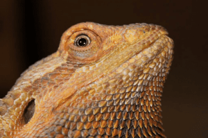 Bearded dragon with respiratory infection