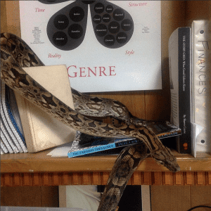 Dumeril's boa exploring its reptile keeper's desk