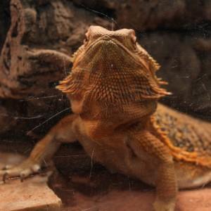 sassy bearded dragon