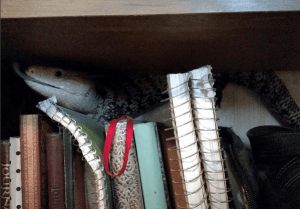 Blue tongue skink hiding