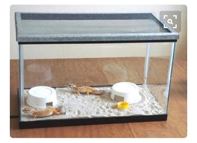 leopard geckos on sand