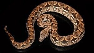 how big do snakes get: Dumeril's boa