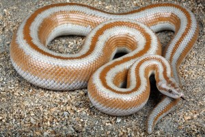how big can snakes get: rosy boa
