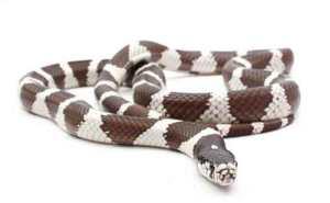 how big do snakes get: california kingsnake