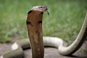 how big do snakes get: king cobra