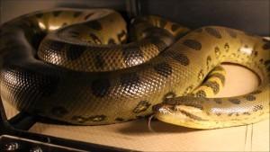 how big can snakes get: green anaconda