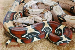 How to tell if a snake is venomous - red tail boa