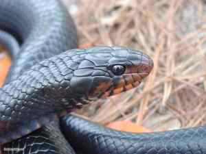 How to tell if a snake is venomous - eastern indigo