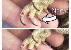 How to clip lizard nails - bearded dragon