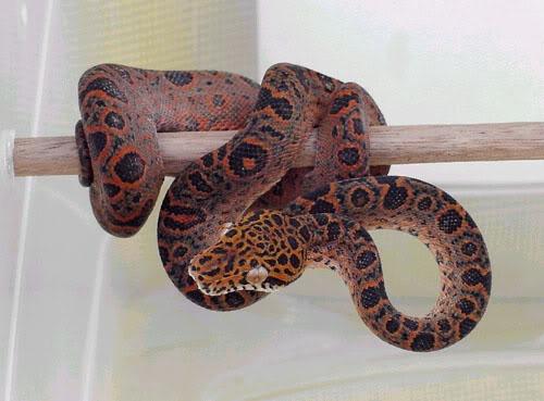 Hybrid snake - Amazon tree boa x emerald tree boa