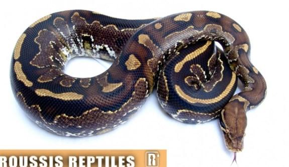 Hybrid reptiles - Borneo blood python x ball python