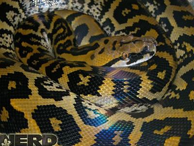 Hybrid snake - Borneo Bateater xReticulated python
