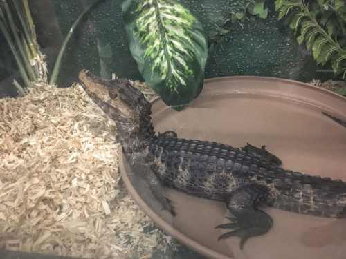 dwarf caiman - scales n tails - Wasatch Reptile Expo 2016