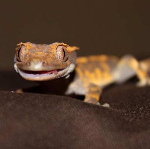cute baby reptiles - crested gecko