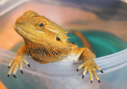 bearded dragon using chlorhexidine from reptile first aid kit
