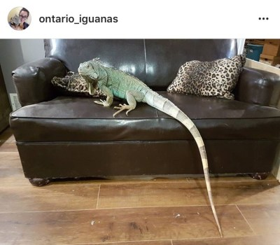 Pet iguana compared with couch for size - Ontario Iguanas