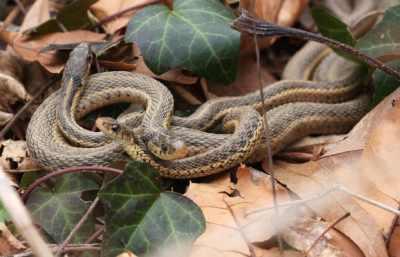 Garter snakes in the backyard
