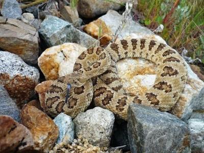 Rattlesnake in the backyard